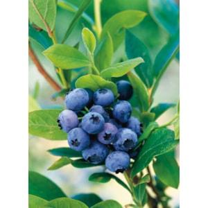Amerikanskt blåbär