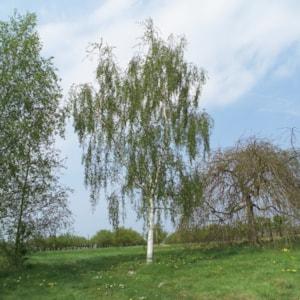 Hängbjörk 150-200 cm