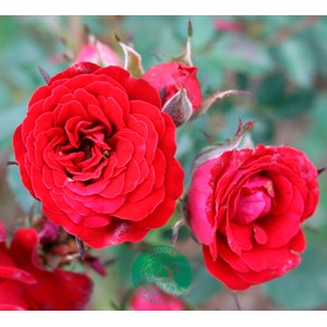 Marktäckande ros 'Velvet Cover' 5-pack