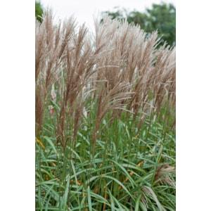 Japanskt gräs 'Malepartus