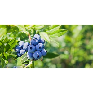 """Amerikanskt blåbär  """"Northland"""" 3-pack"""