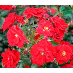 Marktäckande ros 'Austriana' 5-pack