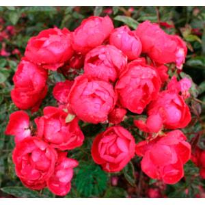 Marktäckande ros 'Morsdag' 5-pack