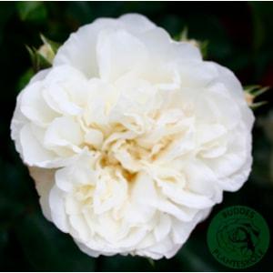 Marktäckande ros 'White Meidiland' 5-pack