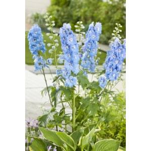Trädgårdsriddarsporre 'Blue Bird', 3-pack