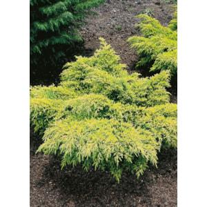 Trädgårds-en 'Gold Star', 25-30 cm 3-pack