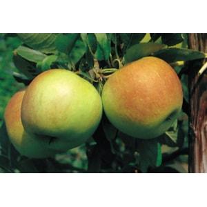 Miniträd Äpple