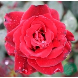 Storblommig ros 'Barkarole' 10-pack