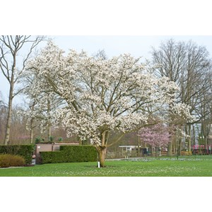 Japansk Magnolia Goliat 8-10 cm