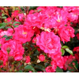 Marktäckande ros 'Red Fairy' 10-pack