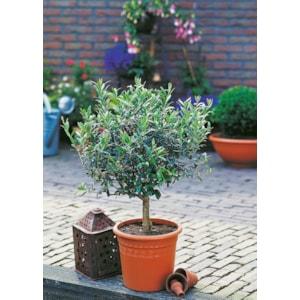 Olivträd på stam, 80-85 cm