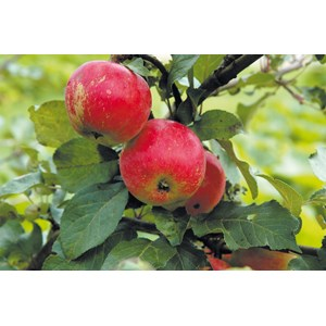 Äpple 'Alice' CO