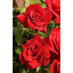 Storblommig ros 'Erotika' 10-pack