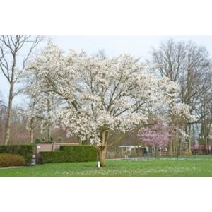 Japansk Magnolia Goliat 10-12 cm