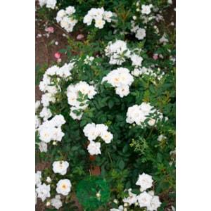Marktäckande ros 'White Cover' 1-pack