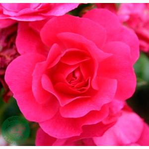 Marktäckande ros 'Heidetraum' 10-pack