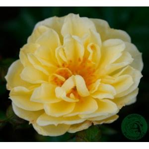 Marktäckande ros 'Golden Cover' 1-pack