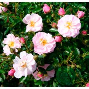 Marktäckande ros 'Gentle Cover' 1-pack