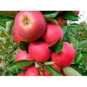 Äpple Miniträd