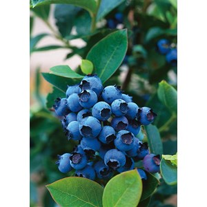 Hybrid blåbär
