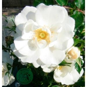 Marktäckande ros 'Diamond Border' 5-pack