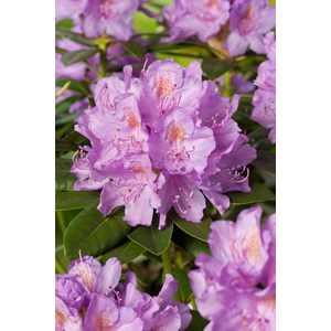 Park Rhododendron 50-60 cm, Lila 5-pack