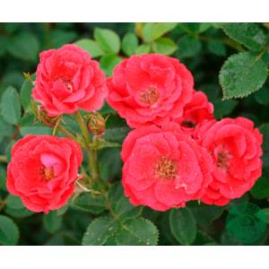 Marktäckande ros 'Charming Cover' 5-pack