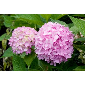 Hortensia rosaröd 'Endless Summer' CO 5-pack