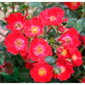 Marktäckande ros 'Bassino' 1-pack