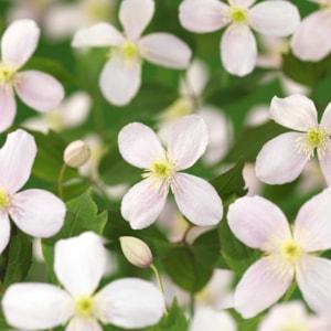 Klematis 'Fragrant Spring' 3-pack