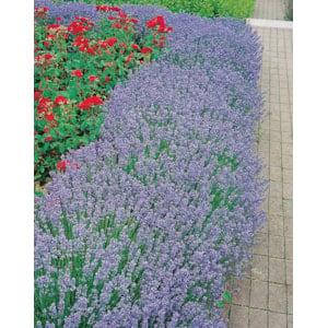 Lavendel  'Hidcote', 6-pack